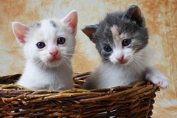 Animals Photograph - Two Kittens In Basket by Garry Gay