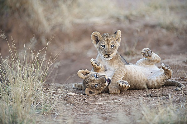 Two Animals Photograph - Two Male Lion Cubs Wrestle On The Trail by Mark C. Ross