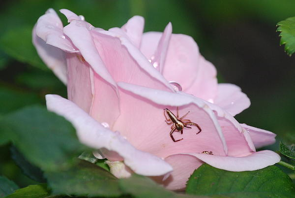 Kathy Gibbons - Two Spiders In A Rose