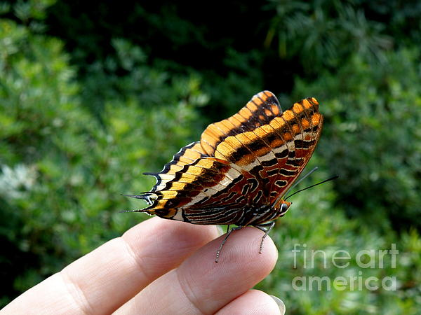 Butterfly Photograph - Two Tailed Pasha by Lainie Wrightson