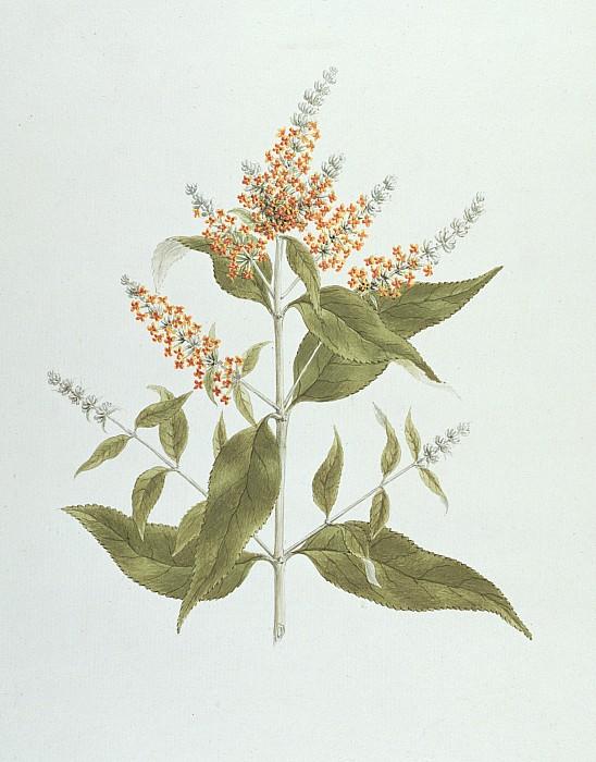 Buddleia Photograph - Umtar - Buddleia Polystachya by James Bruce