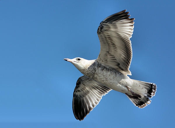 Seagull Photograph - Up Up And Away by Kristin Elmquist