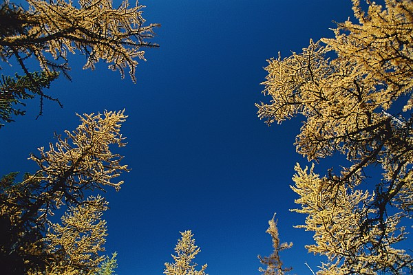 North America Photograph - Upward View Of Blue Sky And Conifer by Raymond Gehman