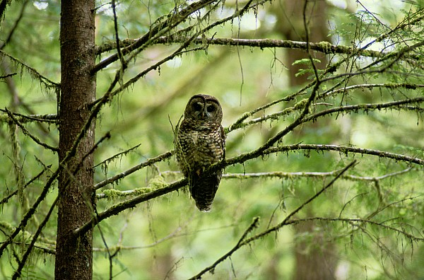 North America Photograph - View Of A Northern Spotted Owl by James P. Blair
