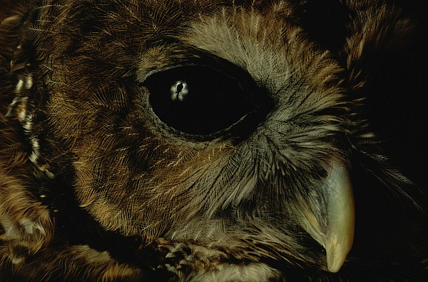 North America Photograph - View Of A Northern Spotted Owl Strix by Joel Sartore