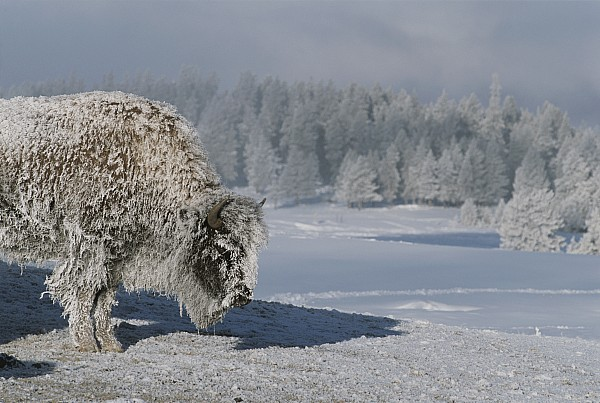 North America Photograph - View Of An Ice-encrusted American Bison by Tom Murphy