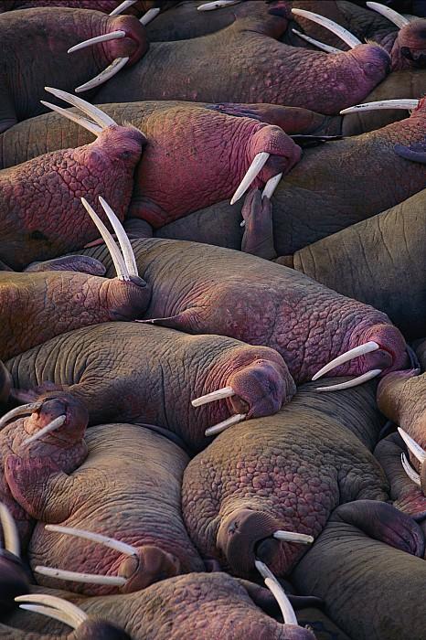 tusks  - Walruses On The Beach by Joel Sartore