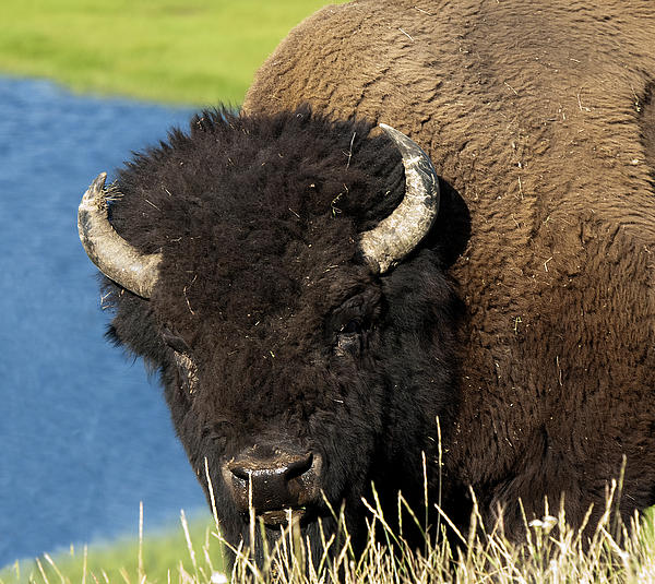 American Bison Buffalo Male Hayden Valley Yellowstone National Park Wyoming Usa Photograph - Wanna Fight by Paul Cannon