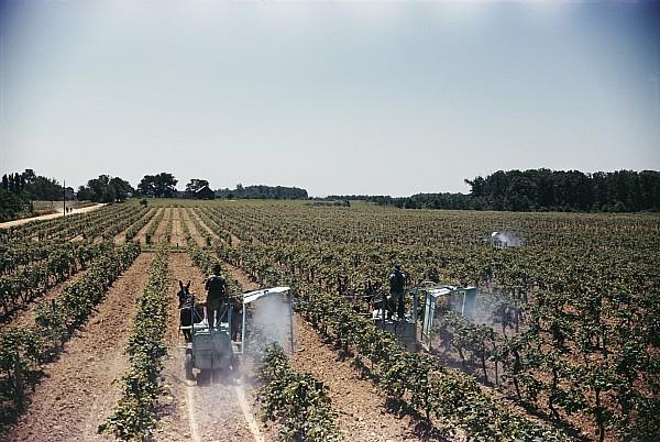 Plants Photograph - Welchs Grape Vineyard Covers 250 Acres by Willard Culver