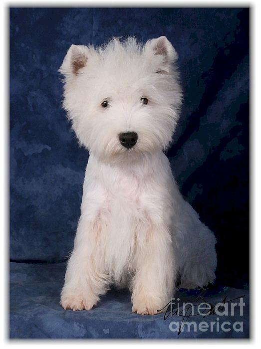 West Digital Art - West Highland White Terrier Pup by Maxine Bochnia