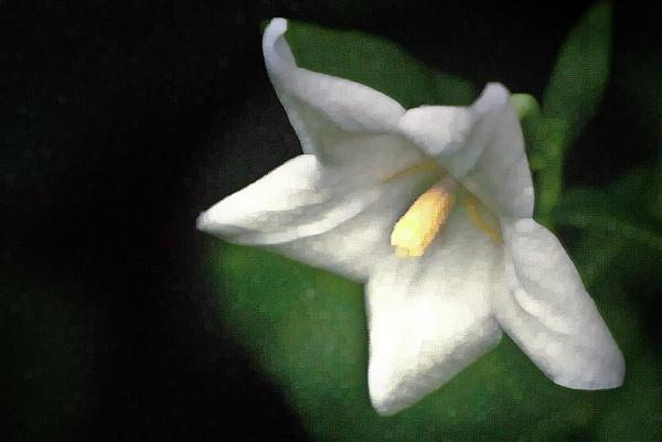 Balloon Flower Photograph - White Balloon Flower-faux Painting by  Onyonet  Photo Studios