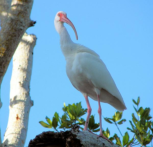 White Ibis Photograph - White Ibis In The Treetop by Judy Via-Wolff