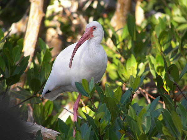 Ibis Photograph - White Ibis by Judy Via-Wolff