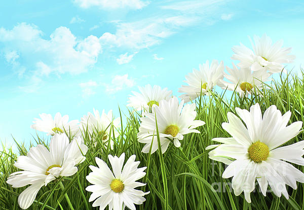 Background Photograph - White Summer Daisies In Tall Grass by Sandra Cunningham