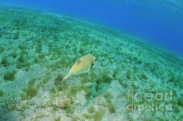 Motion Photograph - Whitespotted Pufferfish by Sami Sarkis