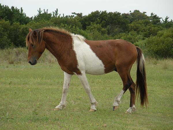 Wild Pony On Assateague Island Maryland Photograph