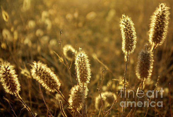 Agricultural Photograph - Wild Spikes by Carlos Caetano