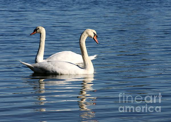Swans Photograph - Wild Swans by Sabrina L Ryan