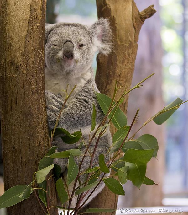 Koala Photograph - Wink by Charles Warren