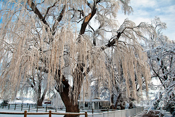 Flora Photograph - Winter Willow by Harry Strharsky
