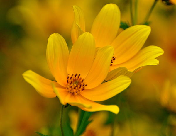 Wild Flower Photograph - Yellow Blaze by Marty Koch