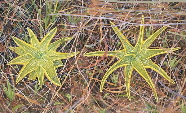 Flowers Painting - Yellow Butterwort In Habitat by Scott Bennett