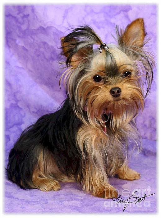 Yorkshire Digital Art - Yorkshire Terrier Pup by Maxine Bochnia