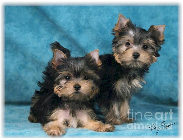 Yorkshire Digital Art - Yorkshire Terrier Pups 3 by Maxine Bochnia
