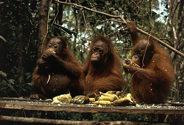 Outdoors Photograph - Young Orangutans Eat Together by Rodney Brindamour