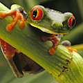 A Red-eyed Tree Frog Agalychnis by Steve Winter