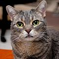 American Shorthair Cat Portrait by Amy Cicconi
