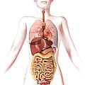Anatomy Of Female Body With Internal by Leonello Calvetti