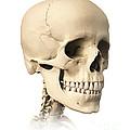 Anatomy Of Human Skull, Side View by Leonello Calvetti