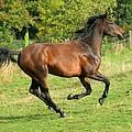 Gallop by Angel  Tarantella