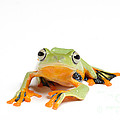 Gliding Frog by Scott Linstead