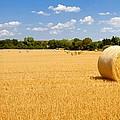 Golden Harvest by Roger Gallamore
