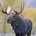 Autumn Bull Moose IIi by Gary Langley