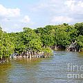 Mangrove Forest by Carol Ailles