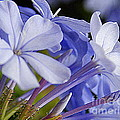 Plumbago Summer Solstice In New Orleans Louisiana by Michael Hoard