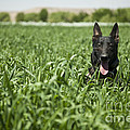 A Military Working Dog Sits In A Field by Stocktrek Images