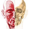 Anatomy Of A Male Human Head, With Half by Leonello Calvetti