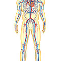 Anatomy Of Human Body And Circulatory by Stocktrek Images