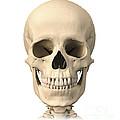 Anatomy Of Human Skull, Front View by Leonello Calvetti