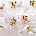 Apple Blossoms by Elena Elisseeva