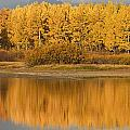 Autumn Aspens Reflected In Snake River by David Ponton