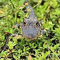 Baby Gator by Adam Jewell