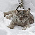 Baby Lynx On A Lazy Winter Day by Inspired Nature Photography Fine Art Photography