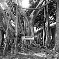 Banyan Tree by Retro Images Archive