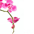 Beautiful Orchids by Boon Mee