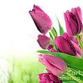 Beautiful Purple Tulips  Flower by Boon Mee